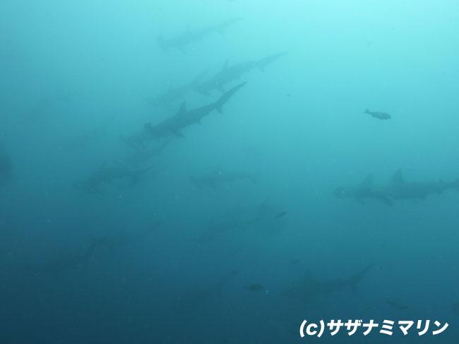2011.06.25の神子元 ハンマー&メジロザメ!!!