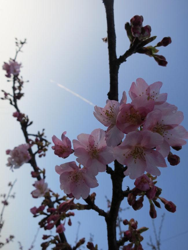(^^) 290パーキング脇の南桜 (^^)
