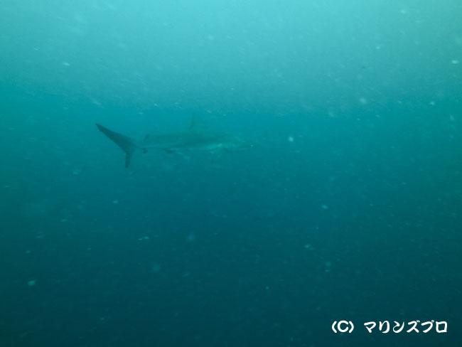 2013.06.30の神子元島 ハンマーにメジロ(^^)