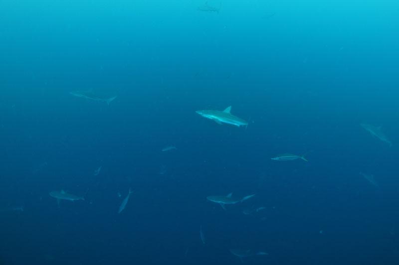 2013.10.21の神子元島 メジロザメの群れ(^O^)