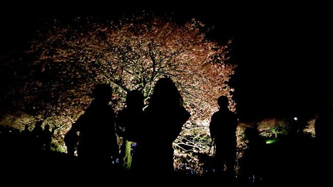 夜桜ライトアップは10日まで