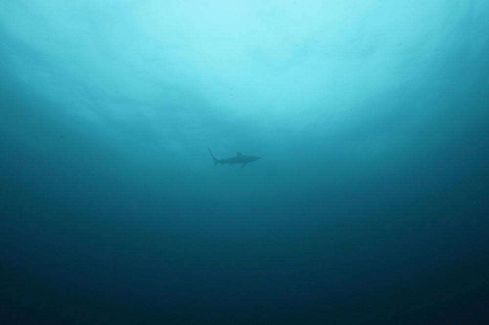 2016.09.18の神子元島 メジロザメ(^O^)