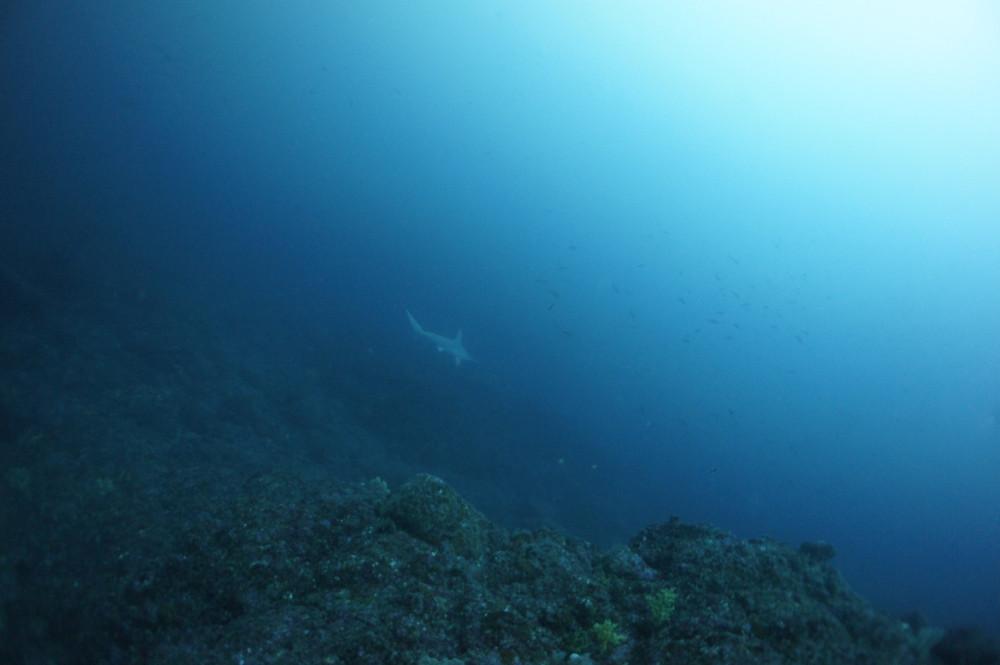 2016.12.20の神子元島 上げ潮ルンルン♪♪♪ハンマーの群れ(^_^)v