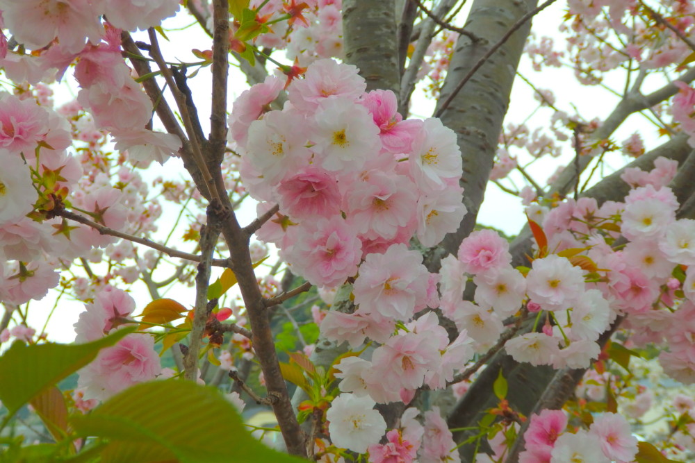 数ヶ所で八重桜