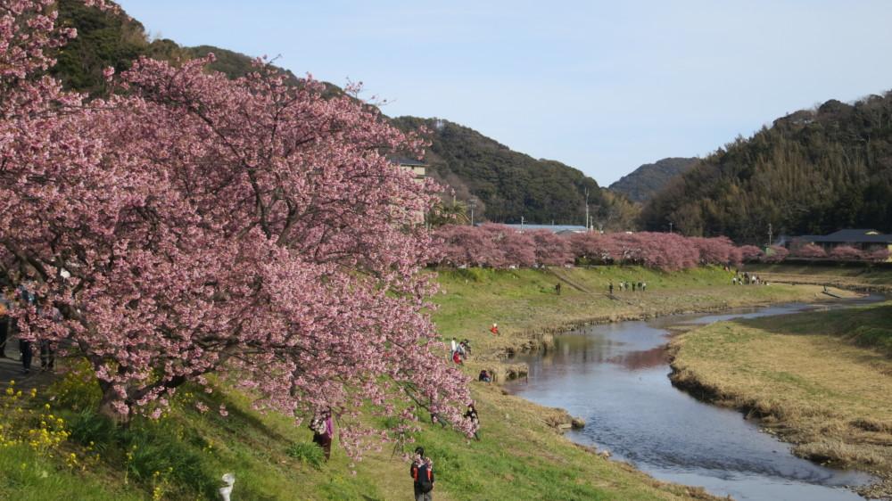 みなみの桜見頃@青野川