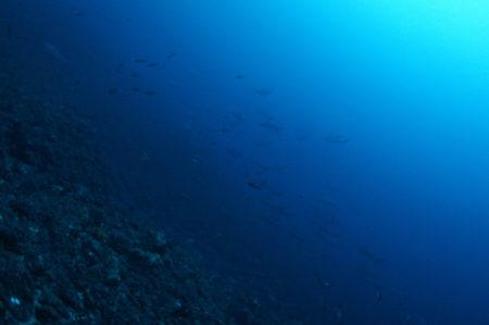 2018.12.31の神子元島 ハンマーの群れで潜り納め!