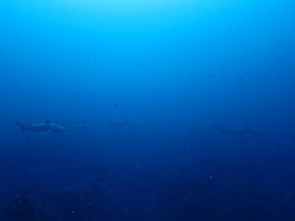 2020.03.07の神子元島 回遊魚&ハンマー&カマストガリザメの群れ!